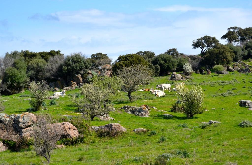 4.Sardegna (mucche)